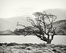 Connemara Tree Study by Geoffrey Agrons (Black & White Photograph)