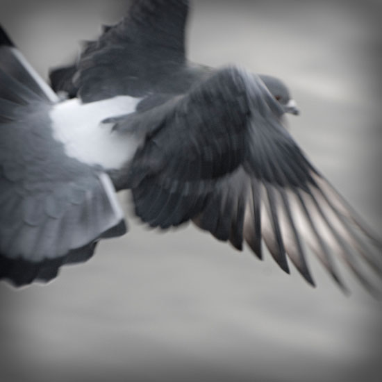 Rock Dove in Flight 1