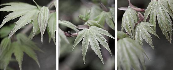 Triptych of Japanese Maple in Spring #1
