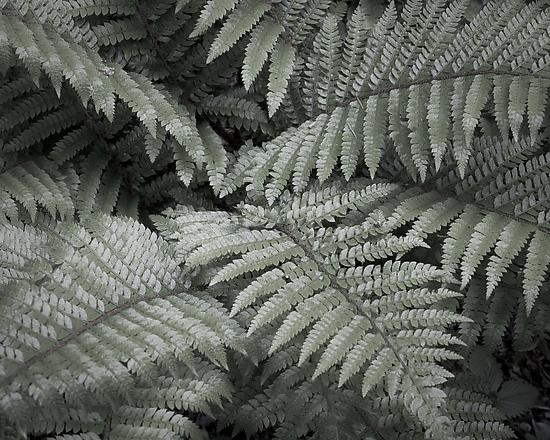 Fern Leaves in Spring No. 1