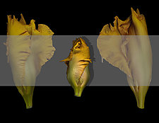 Iris by Raphael Sloane (Color Photograph)