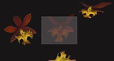 Epidendrum Radicans by Raphael Sloane (Color Photograph)