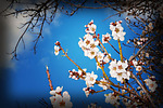 Cherry Blossoms by Lori Pond (Color Photograph)