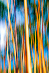Aspen Trees by Lori Pond (Color Photograph)