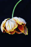 Fallen Tulip by Lori Pond (Color Photograph)