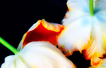 Tulips by Lori Pond (Color Photograph)