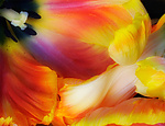 Tulip Wave by Lori Pond (Color Photograph)