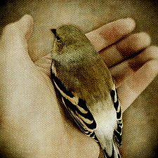 In My Hand - American Goldfinch - Large by Yuko Ishii (Color Photograph)
