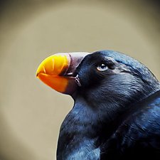 Song of a Tufted Puffin I by Yuko Ishii (Color Photograph)