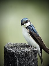 Song of a Tree Swallow III by Yuko Ishii (Color Photograph)