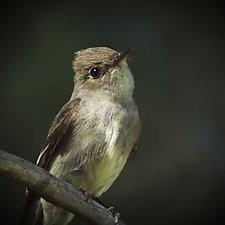 Song of a Western Wood Pewee III by Yuko Ishii (Color Photograph)