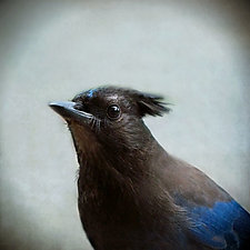 Steller's Jay by Yuko Ishii (Color Photograph)
