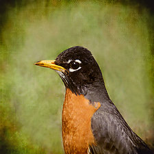 Song of an American Robin II by Yuko Ishii (Color Photograph)