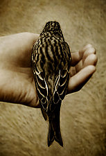 In My Hand - Cassin's Finch by Yuko Ishii (Color Photograph)