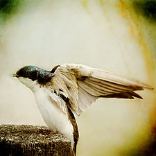 Song of a Tree Swallow II by Yuko Ishii (Color Photograph)