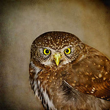 Song of a Northern Pygmy Owl III by Yuko Ishii (Color Photograph)