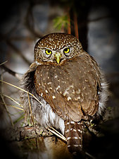 Song of a Northern Pygmy Owl IV by Yuko Ishii (Color Photograph)