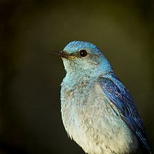 Song of a Mountain Bluebird X by Yuko Ishii (Color Photograph)