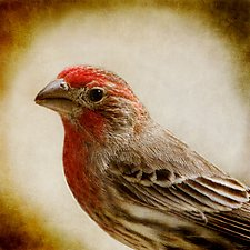 Song of a House Finch by Yuko Ishii (Color Photograph)