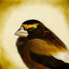 Song of an Evening Grosbeak I by Yuko Ishii (ColorPhotography)