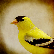 Song of an American Goldfinch IV by Yuko Ishii (Color Photograph)