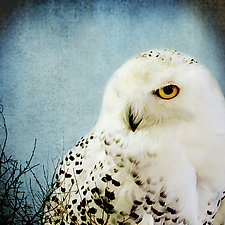 Song of a Snowy Owl by Yuko Ishii (Color Photograph)