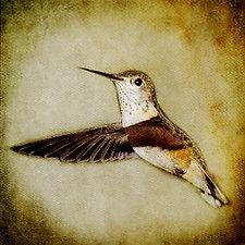 Song of a Calliope Hummingbird II by Yuko Ishii (Color Photograph)
