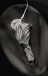 Hosta Leaves 5 by Ralph Gabriner (Black & White Photograph)