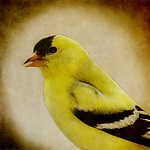 Song of an American Goldfinch V by Yuko Ishii (Color Photograph)