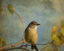 Vintage Pine Warbler by Melinda Moore (Color Photograph)