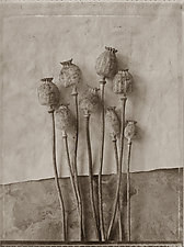 Hungarian Poppies Study No.2, 1992 by Mel Curtis (Black & White Photograph)