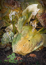 Wilted Hosta Group by Russ Martin (Color Photograph)