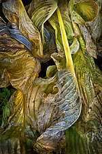 Baroque Wilted Hosta Leaf by Russ Martin (Color Photograph)