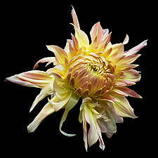 Orange and Yellow Dahlia by Russ Martin (Color Photograph)