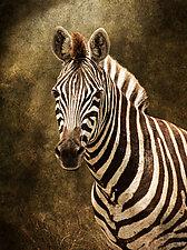Zebra Portrait by Melinda Moore (Color Photograph)