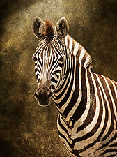 Zebra Portrait by Melinda Moore (Color Photograph)