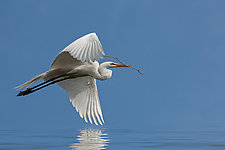 Serenity Egret by Melinda Moore (Color Photograph)