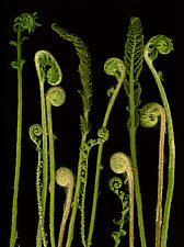 Fiddleheads by Lisa A. Frank (Color Photograph)
