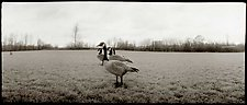 A Gaggle of Geese, 1985 by Mel Curtis (Black & White Photograph)