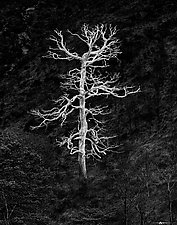 Burning Tree by Matt Anderson (Black & White Photograph)
