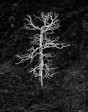 Burning Tree by Matt Anderson (Black & White Photograph)
