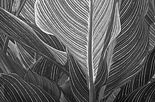Backlit Canna Leaves by Russ Martin (Black & White Photograph)