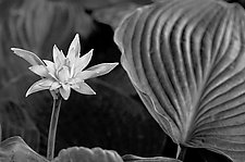 Hosta Flower and Big Leaf by Russ Martin (Black & White Photograph)