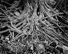 Roots by Russ Martin (Black & White Photograph)