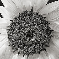 Sunflower by Russ Martin (Black & White Photograph)