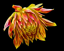 Orange and Yellow Dahlia Bud by Russ Martin (Color Photograph)