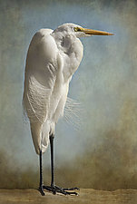 The Royal Egret by Melinda Moore (Color Photograph)
