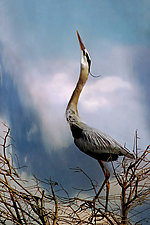Heron Song by Melinda Moore (Color Photograph)