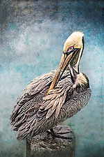 Pelican Preening by Melinda Moore (Color Photograph)