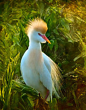 Crowned Cattle Egret by Melinda Moore (Color Photograph)
